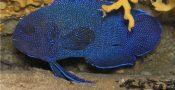 10.-Blue-Devil