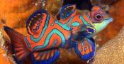 11.-Mandarin-Fish