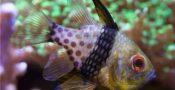 15.-Pajama-Cardinalfish