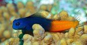 17.-Blenny-Fish