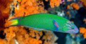 19.-Ikan-Wrasse