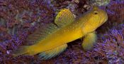8.-Watchman-Goby