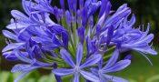 Bunga-Agapanthus