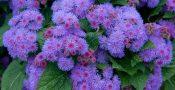 Bunga-ageratum