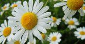 Bunga-daisy