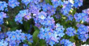 Bunga-forget-me-not