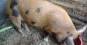 babi potong