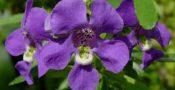 bunga-Angelonia