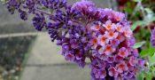 bunga-Buddleja