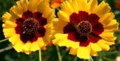 bunga-Coreopsis