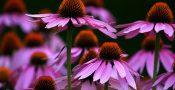 bunga-Echinacea