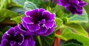 bunga-Gloxinia