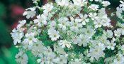 bunga-Gypsophila