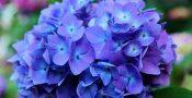 bunga-Hydrangea