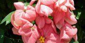 bunga-Mussaenda