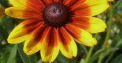 bunga-Rudbeckia-Black-Eyed-Susan