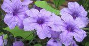 bunga-Ruellia