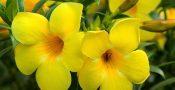 bunga-alamanda