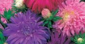 bunga-aster-ostrich-feather