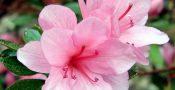 bunga-azalea