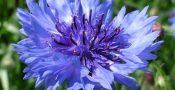 bunga-cornflower