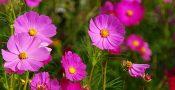 bunga-cosmos