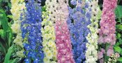 bunga-lakspur-Delphinium