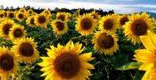 bunga-matahari-1200x741