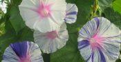 bunga-morning-glory
