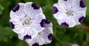 bunga-nemophila