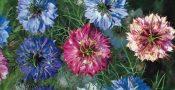 bunga-nigella