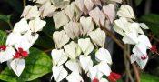 bunga-nona-makan-sirih-putih