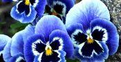 bunga-pansy-viola