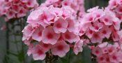 bunga-phlox