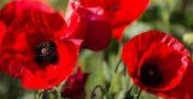 bunga-poppy