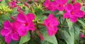 bunga-pukul-empat