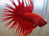 crowntail01
