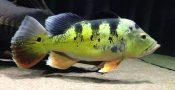 it13-ikan-hias-air-tawar-peacock-bass