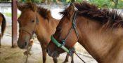 kuda potong