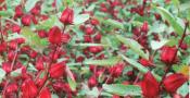 manfaat-rosella-untuk-kesehatan-1tanaman Hibiscus sabdariffa
