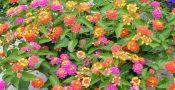 tanaman-bunga-lantana